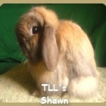 Tort Holland Lop