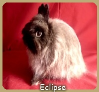 Jersey Wooly eclipse