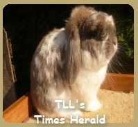 Holland Lop Rabbit Image